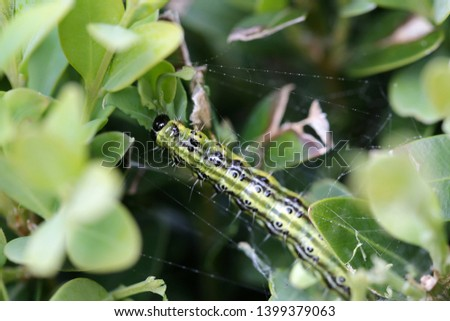 The boxwood caterpillar or boxwood moth destroys many plants in the Netherlands #1399379063