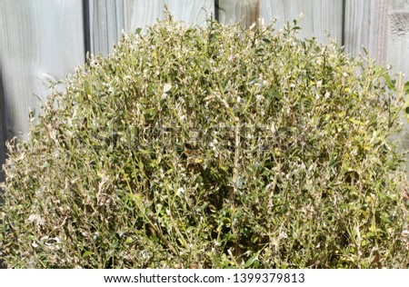The boxwood caterpillar or boxwood moth destroys many plants in the Netherlands #1399379813