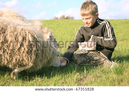 The boy is feeding sheep on the meadow by sunset. Skudde - the most primitive and smallest sheep breed in Europe on the field in Pasterka village in Poland.