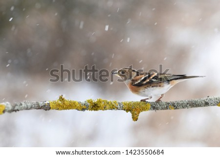 The brambling with snowflakes, Czech republic