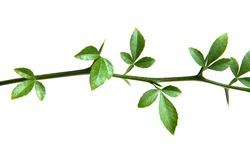 The branch of a tangerine with green leaves. Isolate.