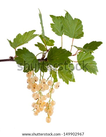 The branch of a white currant with green leaves, isolated on white background #149902967