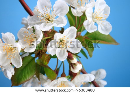 The branch of cherry blossoms on a blue background