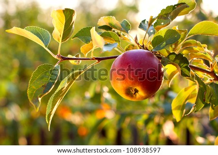 The branch of tree with fresh red apple
