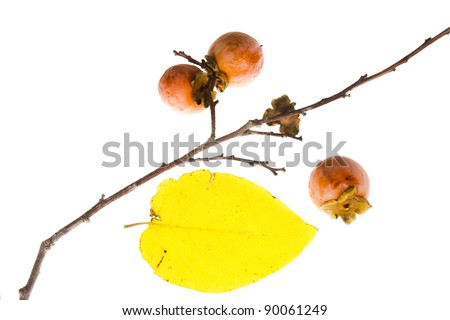 The branch of wild American persimmon with ripe fruit on a white background
