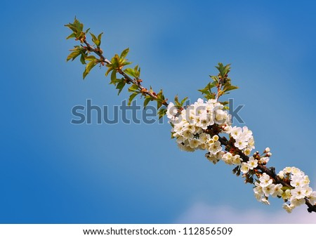 The branch with cherry blossoms and the sky