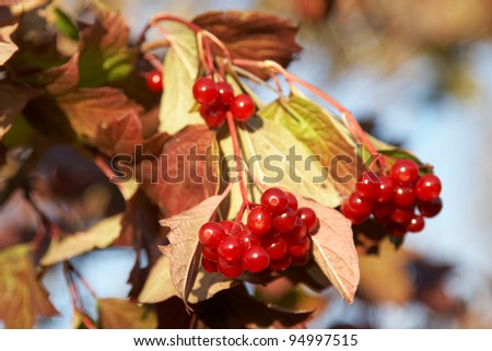 The branch with ripe berries of viburnum