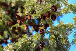 The branches, needles and cones of a spruce tree, an evergreen conifer in the pine family, are seen close up in bright, vibrant detail.