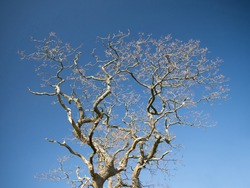 The branches of a leafless tree in spring, pictured against a cloudless blue sky.