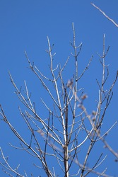 The branches of a leafless tree in spring with a pristine blue sky