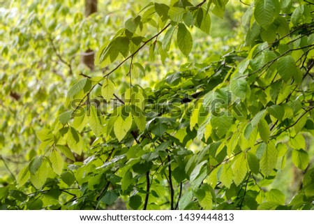 The branches of a tree with green leaves are lit by the setting sun. Fagus orientalis, commonly known as the Oriental beech. Oriental beech branches with leaves.