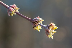the branches of the bush bloom in the spring. A branch of a tree with spring brown and green shoots that blooming, flowering tree. nature close up, comes alive in spring. for background and text