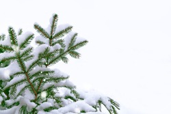 The branches of the snow covered Christmas tree on a white background. winter