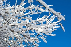 the branches of the trees were covered with snow