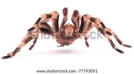 The Brazilian Black and White Tarantula (Nhandu coloratovillosus) is a large terrestrial species that can be found in the grasslands of Brazil.