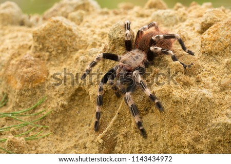 The Brazilian red and white tarantula (Nhandu chromatus) is a larger tarantula with a diagonal leg span of approximately 15–17 centimetres