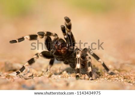 The Brazilian red and white tarantula (Nhandu chromatus) is a larger tarantula with a diagonal leg span of approximately 15–17 centimetres