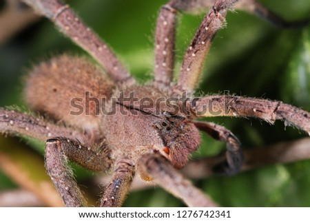 The Brazilian Wandering Spider (Phoneutria nigriventer) on the Singônio (Syngonium angustatum) leaf.