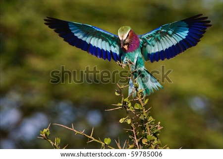 The bright bird sits down on a branch holding in a beak of a cricket. The Bright green background.