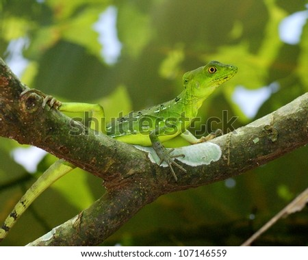 stock-photo-the-bright-green-and-blue-female-plumed-or-green-basilisk-basiliscus-perched-on-a-tree-branch-in-107146559.jpg