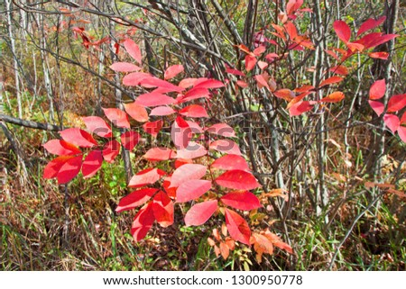 The bright red-orange fronds of a poison sumac, Rhus vernix, shrub glow in the sunshine surrounded by the bare stick of other wetland shrubs on a clear autumn afternoon in south west Michigan. #1300950778