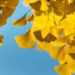 The bright yellow color of the leaves of the ginkgo tree through which sunlight passes. The combination of blue and yellow, Strasbourg