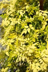 The bright yellow foliage of Fiona Sunrise jasmine (Jasminum officinale 'Frojas')