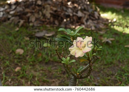 The Brightly Yellow Flowers Of The Desert Rose With Poisonous Sap