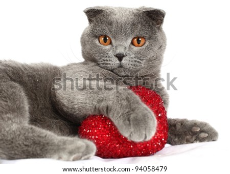 The British blue cat with pink heart in paws