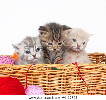 The British kittens - stock photo