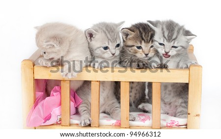 The British kittens in an arena