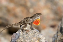 The brown anole (Anolis sagrei) is inflating its throat