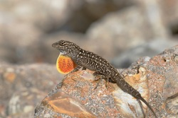 The brown anole (Anolis sagrei) is invasive to Texas