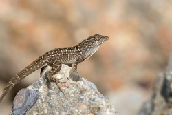 The brown anole (Anolis sagrei) on the stone, close up