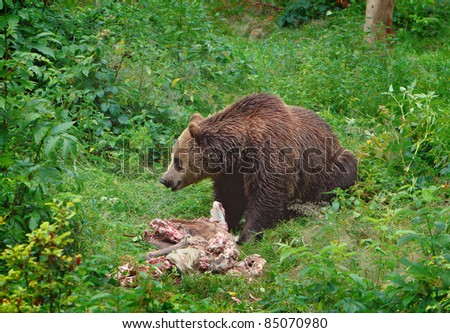 The brown bear eating a buck