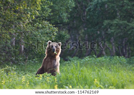 The brown bear rose on hinder legs and eats a grass