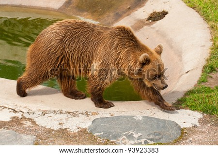 The brown bear walks in a zoo open-air cage