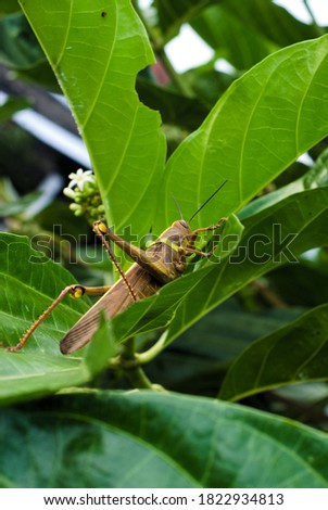 The brown locust with its back line forms a yellow sword. The grasshopper landed on the noni leaves. Stockfoto ©