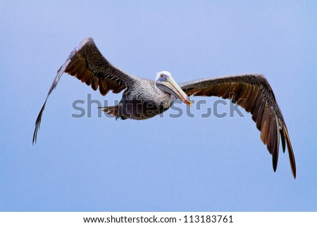 The brown Pelican fly over