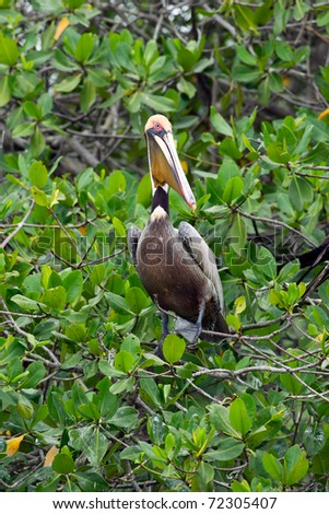 THE BROWN PELICAN IS THE SMALLEST OF THE EIGHT SPECIES OF PELICAN, ALTHOUGH IT IS A LARGE BIRD IN NEARLY EVERY OTHER REGARD