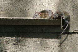 The brown rat (Rattus norvegicus) is the dominant rat in Europe and much of North America.