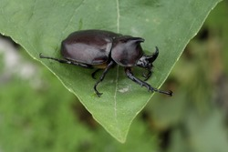 The brown rhinoceros beetle, Xylotrupes gideon is a brilliant species of large scarab beetle belonging to the subfamily Dynastinae.