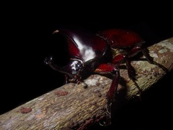 The brown rhinoceros beetle, Xylotrupes gideon is a brilliant species of large scarab beetle belonging to the subfamily Dynastinae. They are commonly used in beetle fights in Asia.