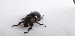 Thebrown rhinoceros beetle,Xylotrupes gideonis a brilliant species of largescarab beetle. They are commonly used in beetle fights in Asia, where large sums of money are betted on their outcome.