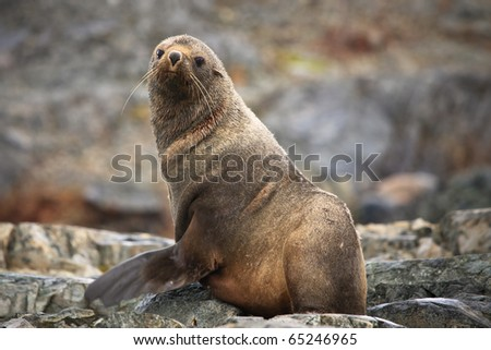The brown seal has a rest on stones in Antarctica