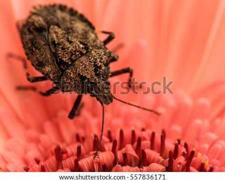 The brown stink bug is considered to be an agricultural pest/The brown stink bug /The major body regions of the brown stink bug are dull brownish-yellow in color and 12.0 to 15.0 mm long.