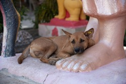 The brown street stray dog lying near the statue in a thai temple.