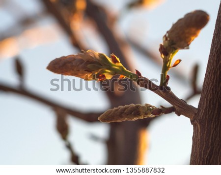 The buds of the Wisteria (Wisteria sinensis) vines in the sunset #1355887832