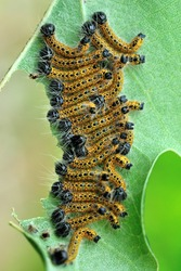 The Buff-tip (Phalera bucephala) caterpillars eating leaf