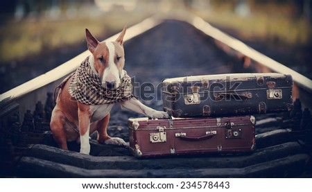 The bull terrier looks for the house. The dog waits for the owner. The lost dog. Bull terrier on the road. Dog on rails. Dog with suitcases. Tramp